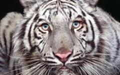 Tot ce nu stiai despre tigri (Partea II)