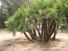 Tot ce stim despre controversatul ulei de palmier. De ce este atat de folosit desi contine grasimi nesanatoase