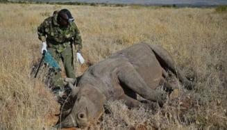Toti rinocerii din Kenya vor avea un microcip implatat in corn. Vezi motivul
