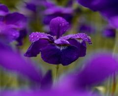 Totul despre floarea de iris. Simbolism si modul de plantare