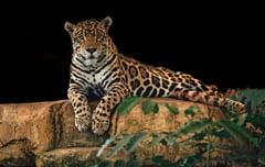 Traficul cu parti de jaguar cu destinatia China s-a intensificat in America de Sud