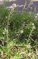 Traista-ciobanului, o planta ce regleaza circulatia sangelui