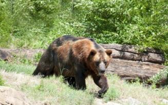 Trei barbati din Prahova au fost sfasiati de ursi agresivi intr-o singura luna. Atacurile au avut loc in Comarnic, Breaza si Telega