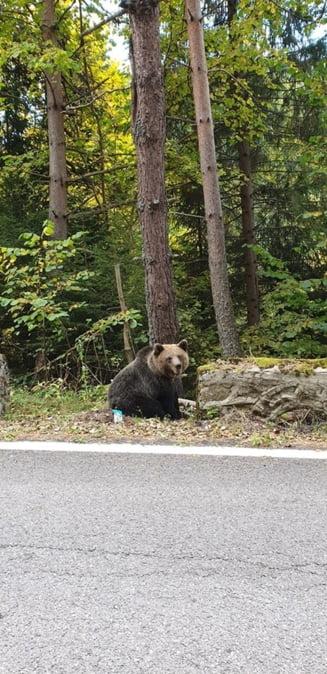 Trei ursi au fost semnalati pe strazi in doua localitati din judetul Mures