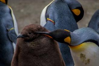 Triunghiuri amoroase, incest si iubire neimpartasita. Pinguinii controversati din Japonia le bifeaza pe toate