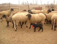 Tunisienii se tem sa consume carne de oaie importata din Romania