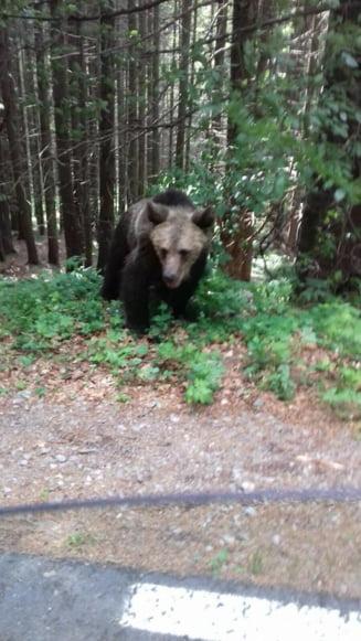 Turista muscata de urs, la Lacul Sf. Ana, dupa ce a vrut un selfie. In Arges, ursii ataca gospodariile