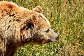 Turistii sunt sfatuiti sa nu urce in Bucegi, din cauza unui urs lovit de masina, care poate deveni violent