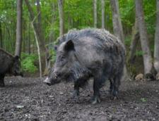 Turma de porci mistreti, alungata de jandarmi de langa un lac din Brasov (Video)