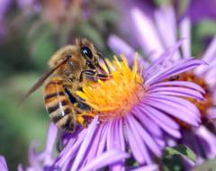 UE interzice un insecticid care omoara albinele - Romania s-a opus