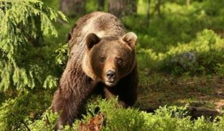 UPDATE Bărbat rănit grav de un urs în oraşul Comarnic. Au intervenit un echipaj ISU şi o ambulanţă SMURD