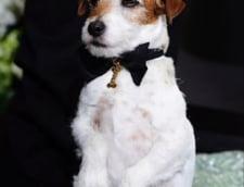 """Uggie, cainele care a aparut in filmul """"Artistul"""",a primit premiul Palme Dog of Palme Dogs la Cannes"""