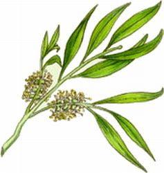 Uleiul din arbore de ceai, ghid de preparare a remediilor