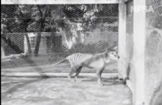 Ultima filmare cu un tigru tasmanian, facuta publica, in premiera, dupa 85 de ani (Video)