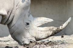 Ultimul mascul de rinocer alb nordic de pe Pamant a murit