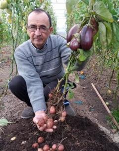 Un agricultor din Romania a obtinut o planta care produce, in acelasi timp, si cartofi si vinete