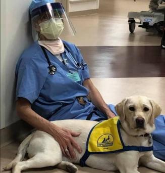 Un ajutor neasteptat pentru medici in lupta impotriva COVID-19: Labradorul Wynn