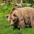 Un bărbat este cercetat după ce ar fi întins o capcană în care s-a prins un urs