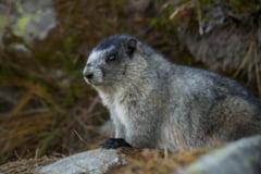 Un barbat din Mongolia a murit de ciuma bubonica dupa ce a mancat carne de marmota