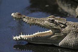 Un barbat si-a salvat sotia din coltii unui crocodil