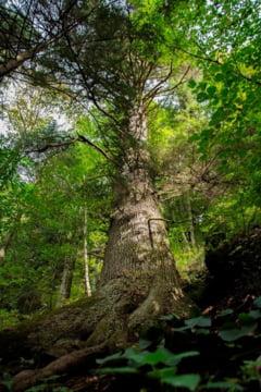 Un brad de 500 de ani din Romania ar putea deveni Arborele European al Anului. Iata cand si cum poti vota