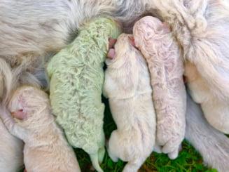 Un caine cu blana verde s-a nascut in Sardinia. Ce spun specialistii despre anomalia intalnita la puiul de labrador