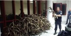 Un ceh a incercat sa scoata din Romania 680 de coarne de cerb
