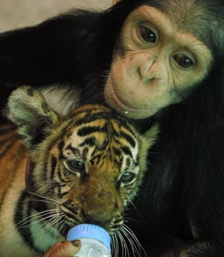 Un cimpanzeu hraneste cu biberonul un pui de tigru (Galerie foto si video)