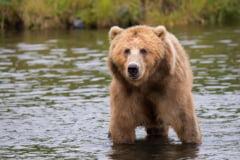 Un cioban a fost muscat de urs in Arges. A scapat din ghearele animalului cu ajutorul cainilor