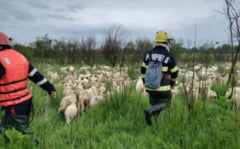 Un cioban care ramasese blocat cu peste 800 de oi pe un islaz a fost salvat de pompieri