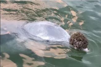 Un delfin a invatat ca oamenilor le place sa li se aduca lucruri de pe fundul marii. Face asta si uite ce asteapta in schimb (Video)