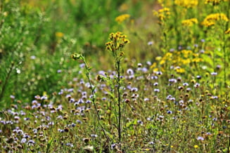 Un deputat PNL a pus gand rau unei plante care provoaca alergii - vrea sa o elimine prin lege