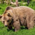 Un deputat USR vrea retragerea ordinului prin care pot fi omorati 140 de ursi: Deschide poarta unui masacru fara precedent
