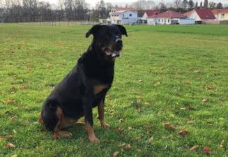 Un grup de voluntari cauta un Rottweiler pierdut in zona Corbii Mari de un cetatean bulgar implicat intr-un accident pe autostrada