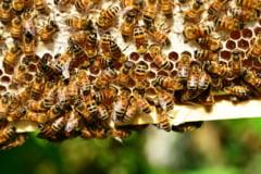 Un insecticid anti-Zika a ucis milioane de albine. E periculos si pentru oameni