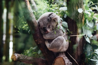Un koala cu malformatie congenitala poate sa mearga si sa se catere datorita unei proteze realizate de un dentist