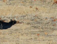 Un leopard negru a fost fotografiat dupa mai bine de un secol in Africa (Foto)
