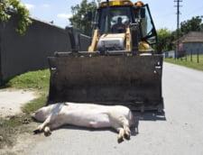 Un les mare de porc zace pe asfaltul fierbinte, la Ostrov