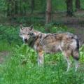 Un lup a fost vazut in nordul Frantei pentru prima oara, dupa un secol