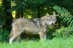 Un lup domesticit a fost scapat pe strazile Craiovei