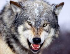 Un lup mort, primul vazut in Olanda din secolul XIX, a pus pe jar tara: Daca e roman?