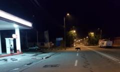 Un mistret s-a plimbat nestingherit prin Targu Jiu