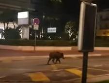 Un mistret s-a plimbat pe Croazeta din Cannes, in lipsa celebrului festival (Video)
