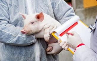 Un nou focar de pesta porcina africana. 600 de porci de la o ferma din Mehedinti vor fi sacrificati