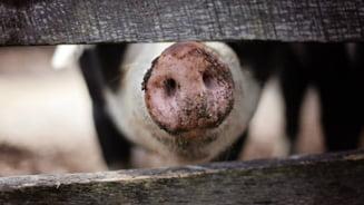 Un nou focar de pesta porcina in Timis