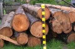 Un ocol silvic din Prahova amendat de politie pentru ca a taiat ilegal zeci de arbori dintr-o padure din Campina