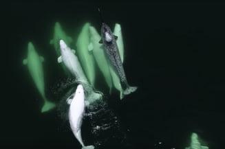 Un orfan din alta specie umbla de trei ani cu o gasca de balene (Video)