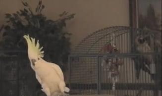 Un papagal cu extraordinare miscari de dans a devenit obiect de studiu. Iar ce-au descoperit cercetatorii e cu totul neasteptat! (Video)