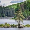 Un pin de 350 de ani din Cehia este Copacul anului in Europa. Ce loc ocupa bradul romanesc