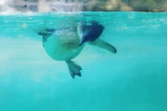 Un pinguin de la o gradina zoologica din Australia se uita la desene animate, pentru a nu se simti singur